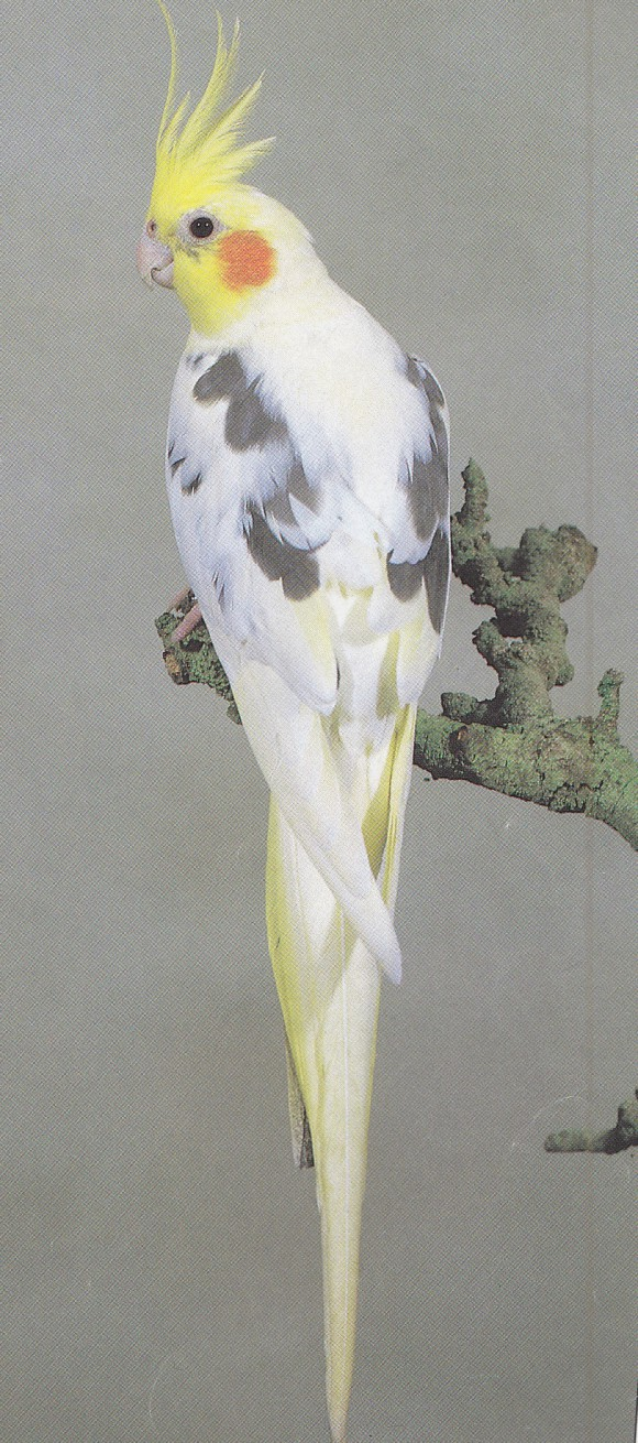cockatiel tail feathers