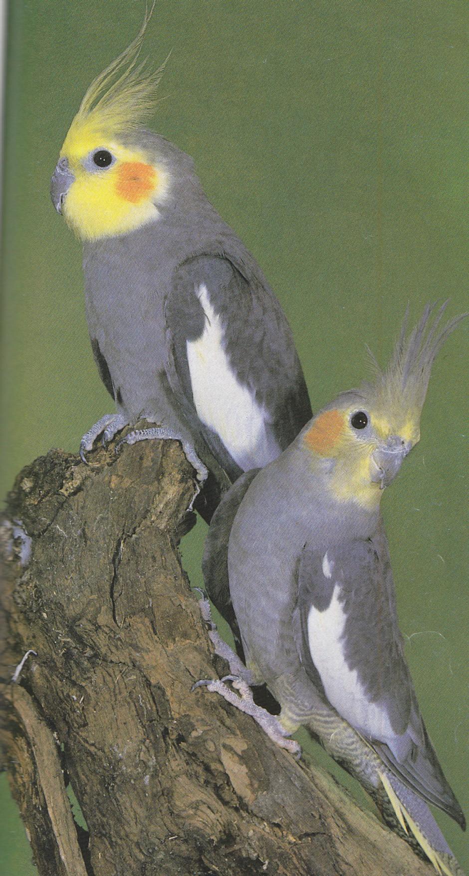 Cockatiels and Mimicry - Cockatiels As Pets