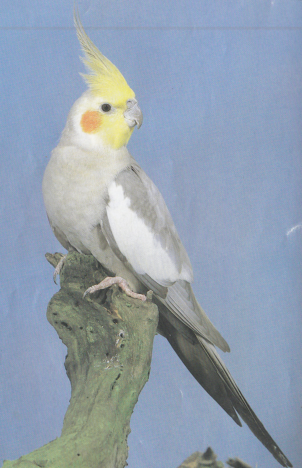judging cockatiel in a bird shows