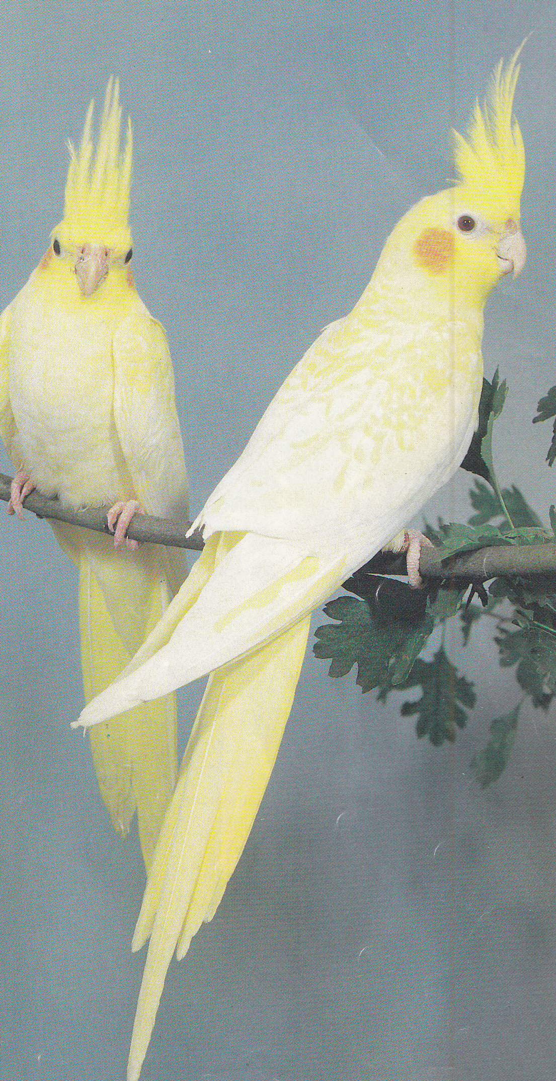 facts on cockatiels