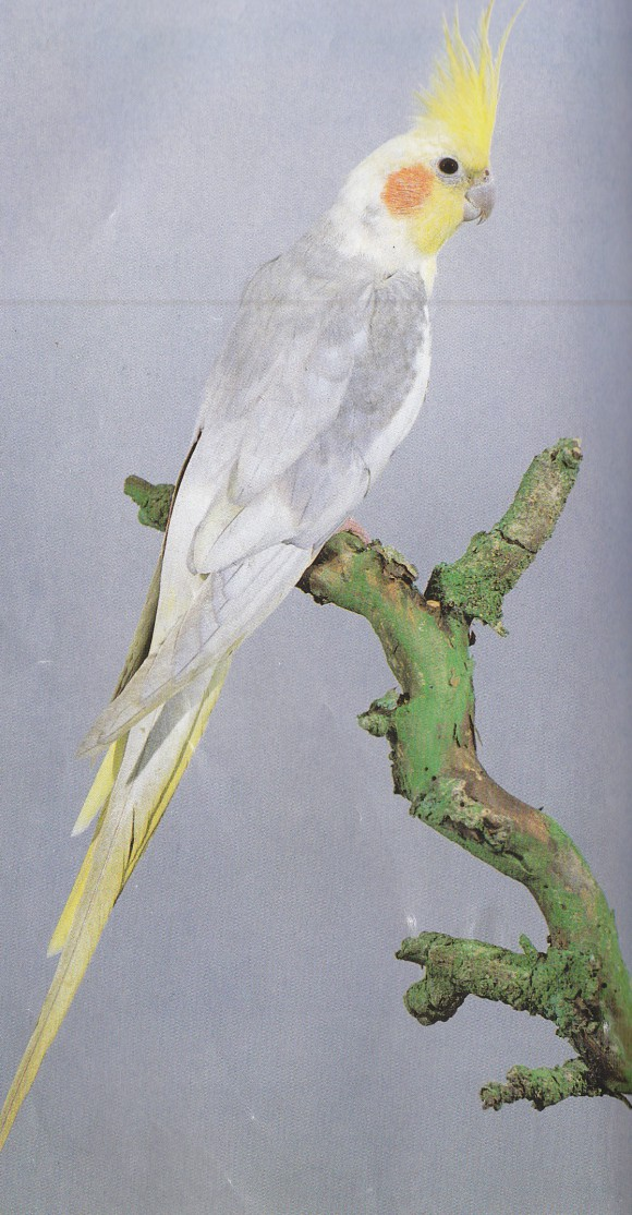 cockatiel dying
