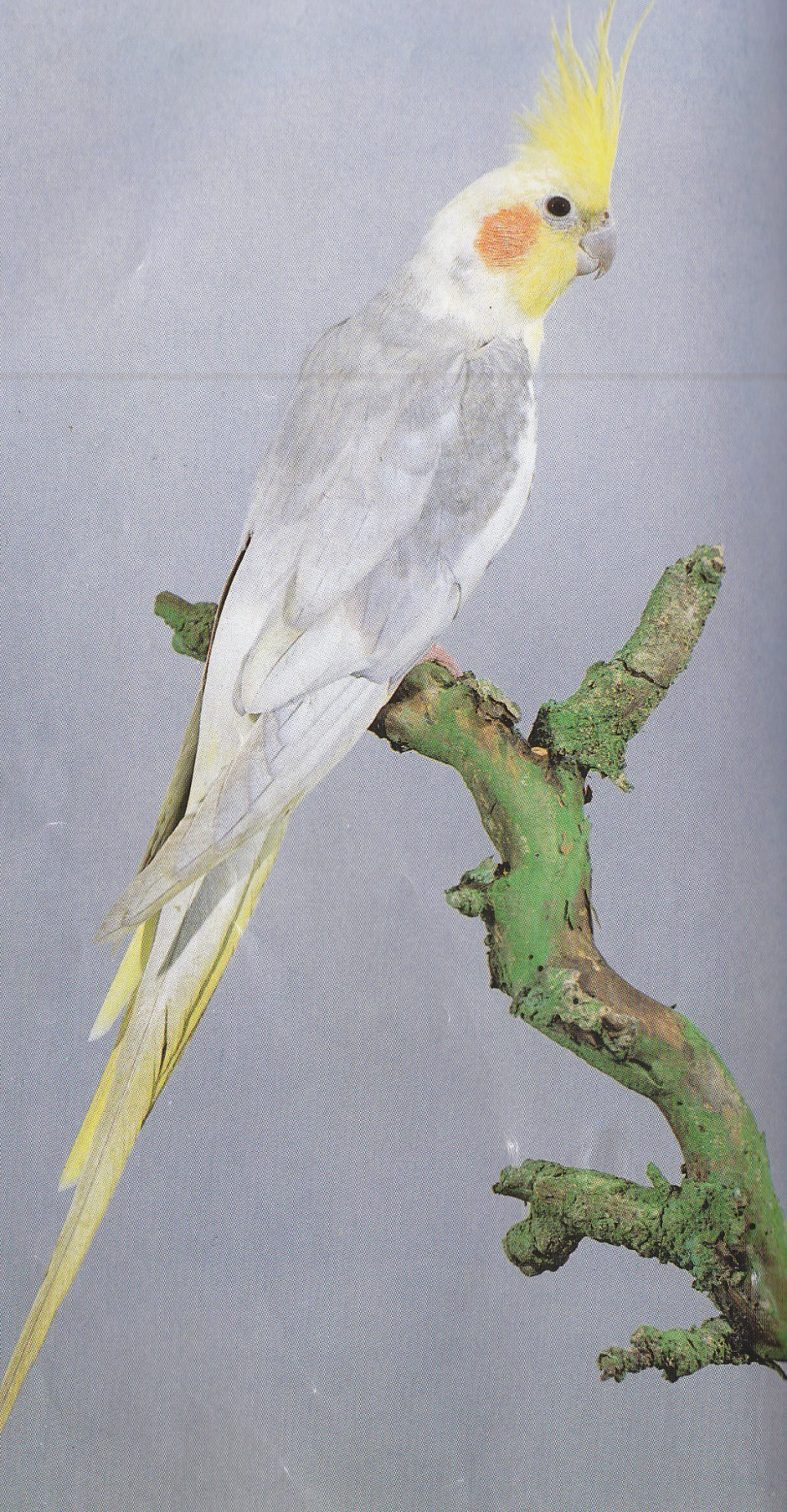 My Cockatiel Dying - How Will I Cope? - Cockatiels As Pets
