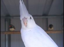 cockatiel mutations