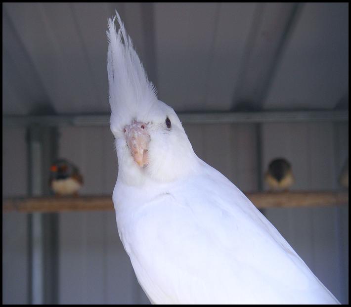 Cockatiel Mutations - Cockatiels As Pets