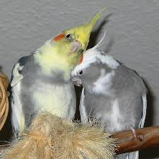 cockatiel health problems