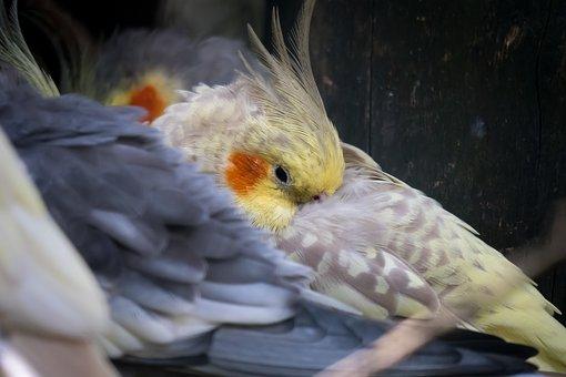cockatiel grooming
