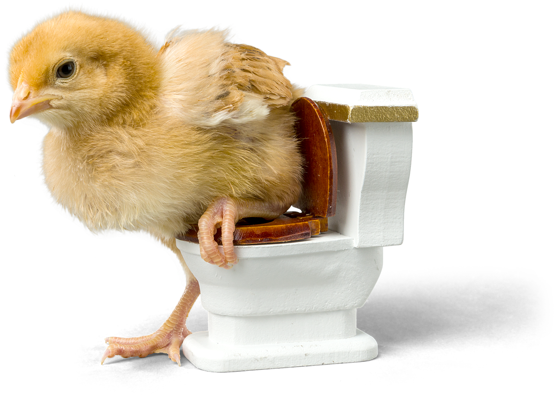 Potty training a cockatiel