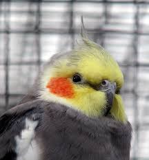 smart cockatiel