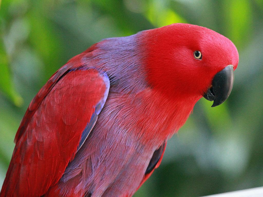 Eclectus parrots as pets