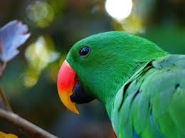 Electus parrots as pets