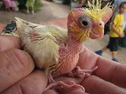 hand rearing baby cockatiels