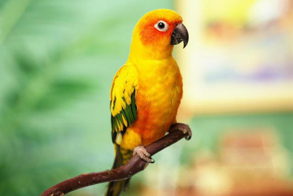 best small parrots as pets