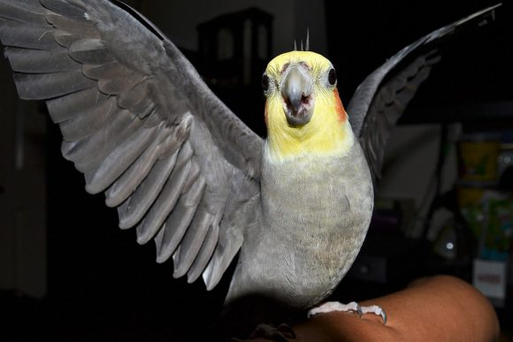 cockatiel questions