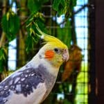 cute cockatiel names
