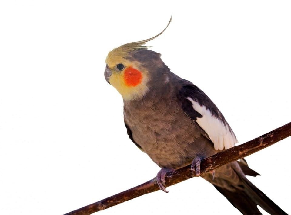 parrot trick