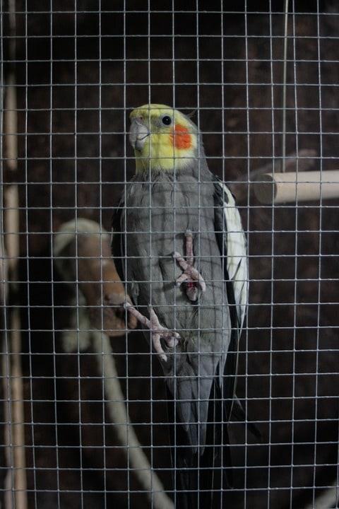 cockatiel needs