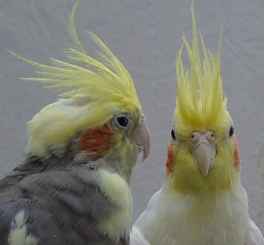 breeding cockatiels