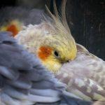 breeding cockatiels