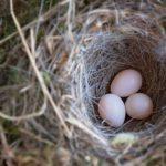 addled eggs