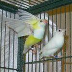 wrought iron flight cage